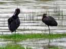 Glossy Ibis (Plegadis falcinellus) | Birding tour Turkey