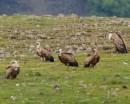 Griffon Vulture (Gyps fulvus)| Birding tour Turkey
