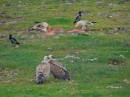 Griffon Vultures (Gyps fulvus) and Egyptian Vultures (Neophron percnopterus)| Birding tour Turkey