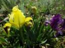 Iris pumilia | Birding tour Turkey