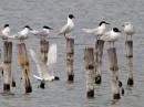 Mediterranean Gull (Larus melanocephalus)| Birding tour Turkey