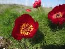 Paeonia tenuifolia | Birding tour Turkey