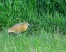 Squacco heron (Ardeola ralloides) | Birding tour Turkey