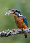 Bird photography tours: Common Kingfisher with a fish copyright by Vivian Nicholas