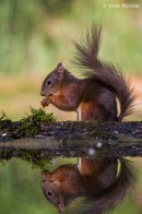 Eurasian Red Squirrel (Sciurus vulgaris) | Bird phototours
