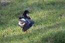 Birding tour Belarus: Ruff
