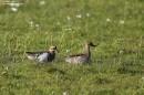 Birding tour Belarus: Garganey