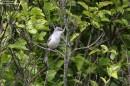 Birding tour Belarus: Barred Warbler