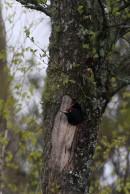 Birding tour Belarus:Birding tour Belarus: Black Woodpecker