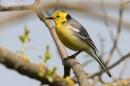 Birding tour Belarus: Citrine Wagtail