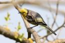 Birding tour Belarus: Citrine Wagtail preening
