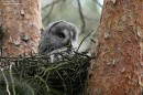 Birding tour Belarus: Great Grey Owl
