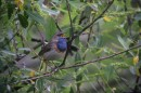Birding in Belarus: Bluethroat