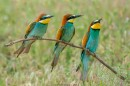 Bird photo tours Hungary | Bee-eaters in motion phaese