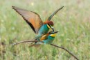 Bird photo tours Hungary  Bee-eaters