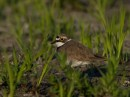 Little Ringed Plover| Bird photography tours| Bird photography tours