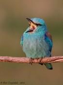 Bird photo tours Hungary | Roller