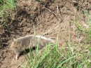 Mole rat | Small mammal holiday Hungary