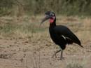 Abyssinian ground hornbill or northern ground hornbill (Bucorvus abyssinicus)| Birding tour Ethiopia 2014