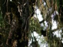 Abyssinian owl or African long-eared owl (Asio abyssinicus)| Birding tour Ethiopia 2014