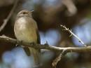 African dusky flycatcher, dusky-brown flycatcher or dusky alseonax (Muscicapa adusta)| Birding tour Ethiopia 2014