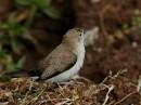 African silverbill (Lonchura cantans)| Birding tour Ethiopia 2014