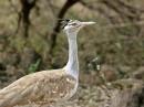Arabian bustard (Ardeotis arabs)| Birding tour Ethiopia 2014