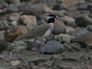 black-headed lapwing or black-headed plover (Vanellus tectus| Birding tour Ethiopia 2014