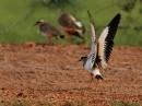 Crowned Lapwing (Vanellus coronatus)| Birding tour Ethiopia 2014
