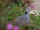 Dusky Turtle-dove (Streptopelia lugens)| Birding tour Ethiopia 2014