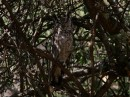 Greyish Eagle-owl (Bubo cinerascens)| Birding tour Ethiopia 2014