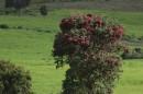 Hagenia abyssinica| Birding tour Ethiopia 2014