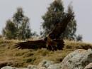 Lammergeier (Gypaetus barbatus)| Birding tour Ethiopia 2014