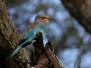 Lilac-Breasted Roller (Coracias caudatus) | Birding tour Ethiopia 2014