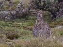 Moorland Francolin (Scleroptila psilolaema)| Birding tour Ethiopia 2014