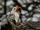northern red-billed hornbill (Tockus erythrorhynchus)| Birding tour Ethiopia 2014