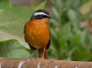 Rüppell\'s Robin-Chat (Cossypha semirufa)| Birding tour Ethiopia 2014