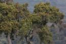 St John\'s Wort tree| Birding tour Ethiopia 2014