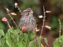 Streaky Seedeater (Serinus striolatus)| Birding tour Ethiopia 2014
