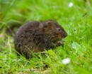 Water Vole (Arvicola amphibius)| Small mammal holiday Hungary