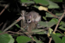 Edible Dormouse (Glis glis)| Small mammal holiday Hungary