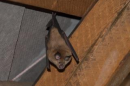 Greater horseshoe bat (Rhinolophus ferrumequinum) | Small mammal holiday Hungary