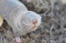 Lesser Mole-rat (Nannospalax leucodon)| Small mammal holiday Hungary