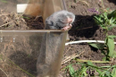 Lesser mole-rat (Spalax leucodon)| Small mammal holiday Hungary
