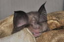 Mediterranean Horseshoe Bat (Rhinolophus euryale)| Small mammal holiday Hungary