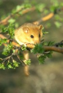 Hazel Dormouse(Muscardinus avellanarius) | Small mammal holiday Hungary