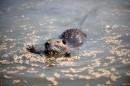 Muskrat (Ondatra zibethicus)| Small mammal holiday Hungary