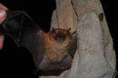 Pond bat (Myotis dasycneme)| Small mammal holiday Hungary