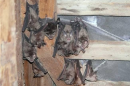 Roosting Greater horseshoe bat (Rhinolophus ferrumequinum)| Small mammal holiday Hungary