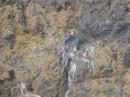 Birding tour Mongolia 2015 |Llammergeier